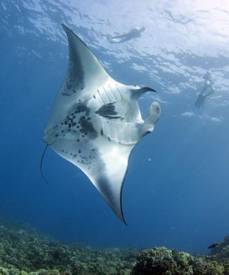 manta ray profile