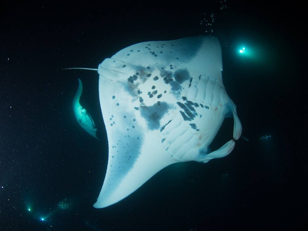 Night Dive with Manta Ray