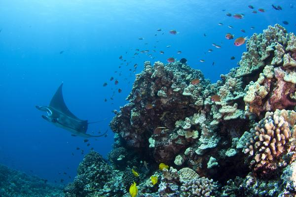 7f72af1a52e62 MANTA RAY NIGHT SNORKEL | Hawaii Tours and Activities