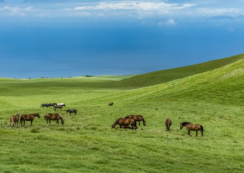 Horses Big Island Kohala Coast
