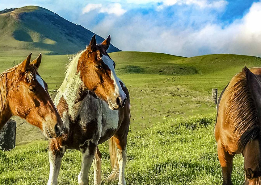 Horses Big Island Kohala