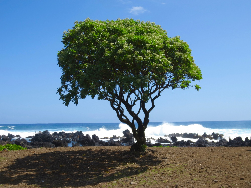 Ke'anae Road To Hana Tree on beach