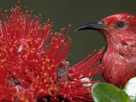Native Bird With Native Ohia