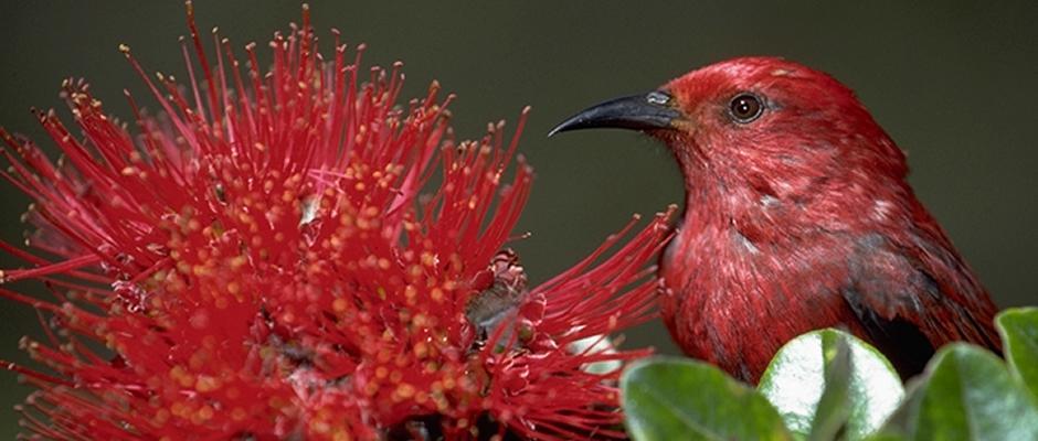 Native Bird With Native Ohia