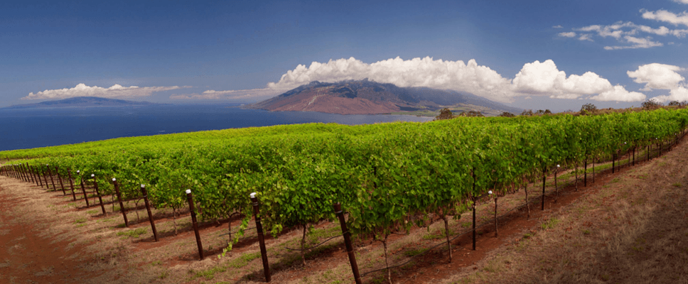 Maui Winery Vineyards Upcountry