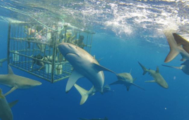 North Shore Hawaii Shark Adventure Cage Dive