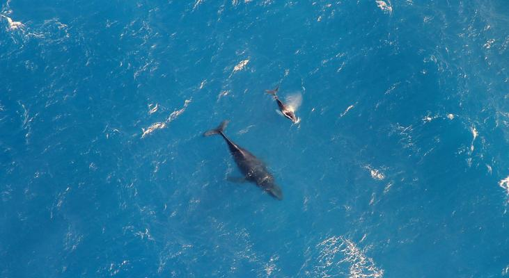 Kohala and Hamakua coast rare Whale photo mother and Calf Aerial