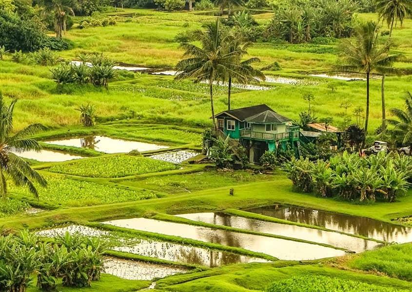 Keanae Peninsula Taro Farm Hana