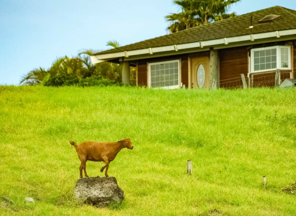 Kula Country Goat and House Maui