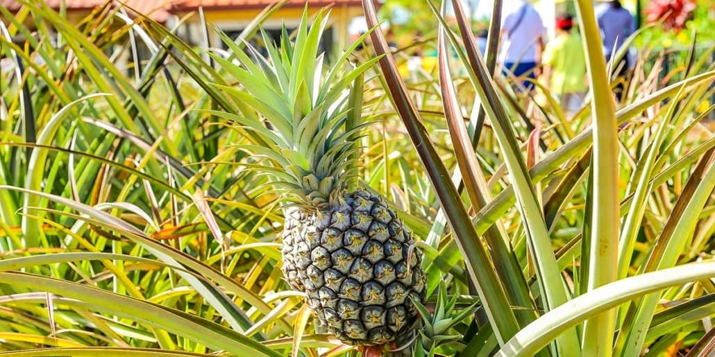 Microcephalus Pineapple Dole Plantation EX