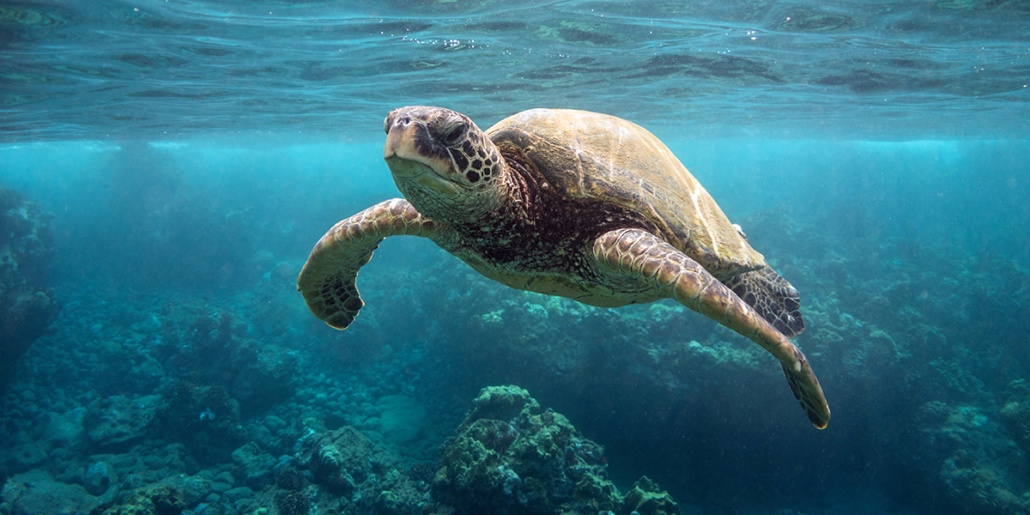 green sea turtle o