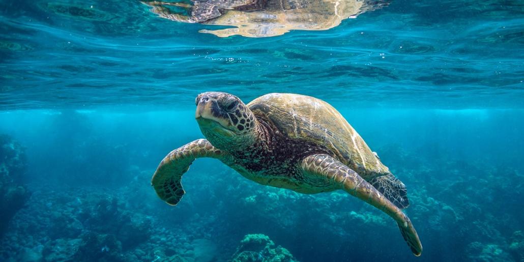 green sea turtle Underwater Shutterstock o