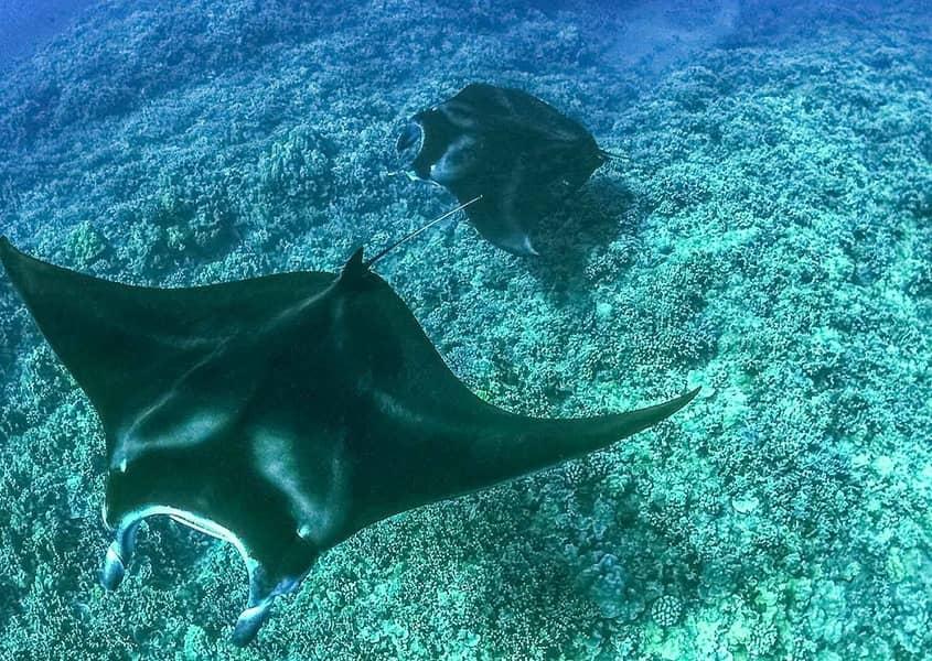 manta rays underwater HTA