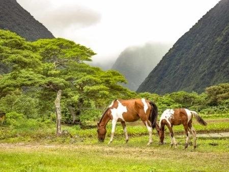 Horses Waipio Valley Big Island shutterstock