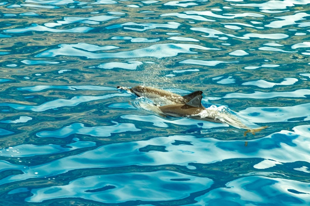 Dolphin in Water Big Island
