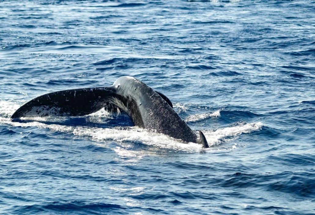 Humpback Whale Tail Maui