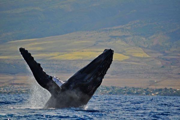 Maui Humpback Whale Breach