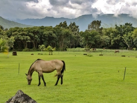 Silver Falls Ranch Horses in Pasture Kauai