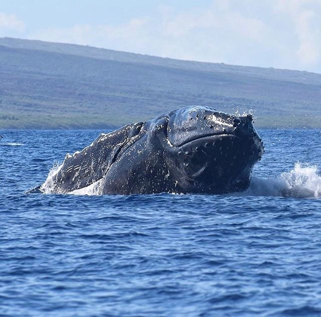 Smiling Whales Maui