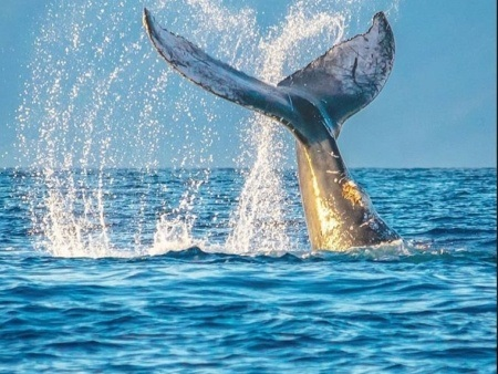 Whale Tail on The Whale Watching Tours