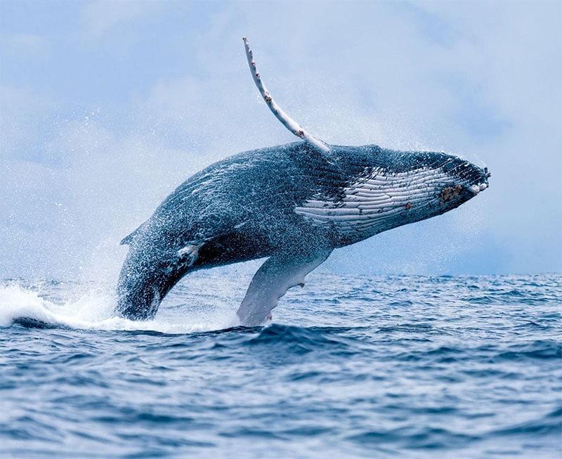 Whale Maui
