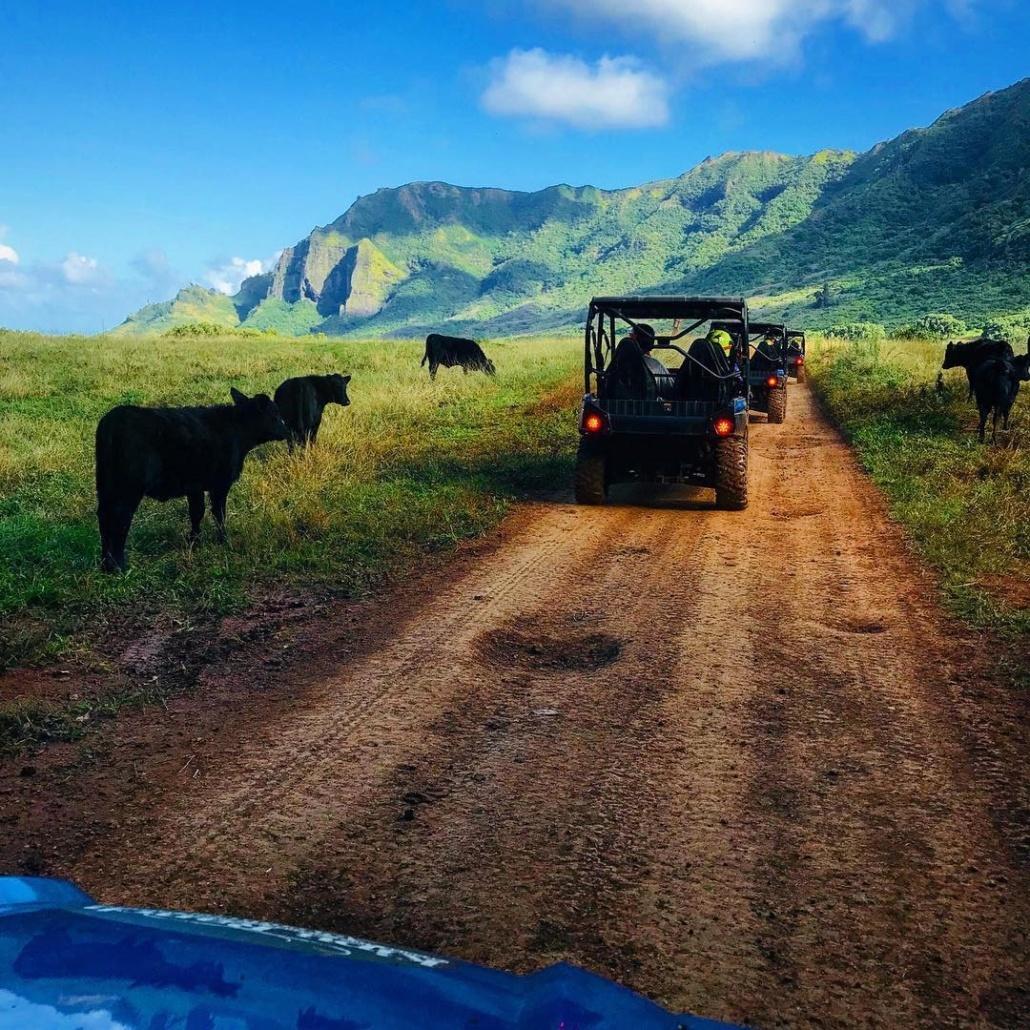 A Herd Of Cattle On The Road Kauai Kipu Tours