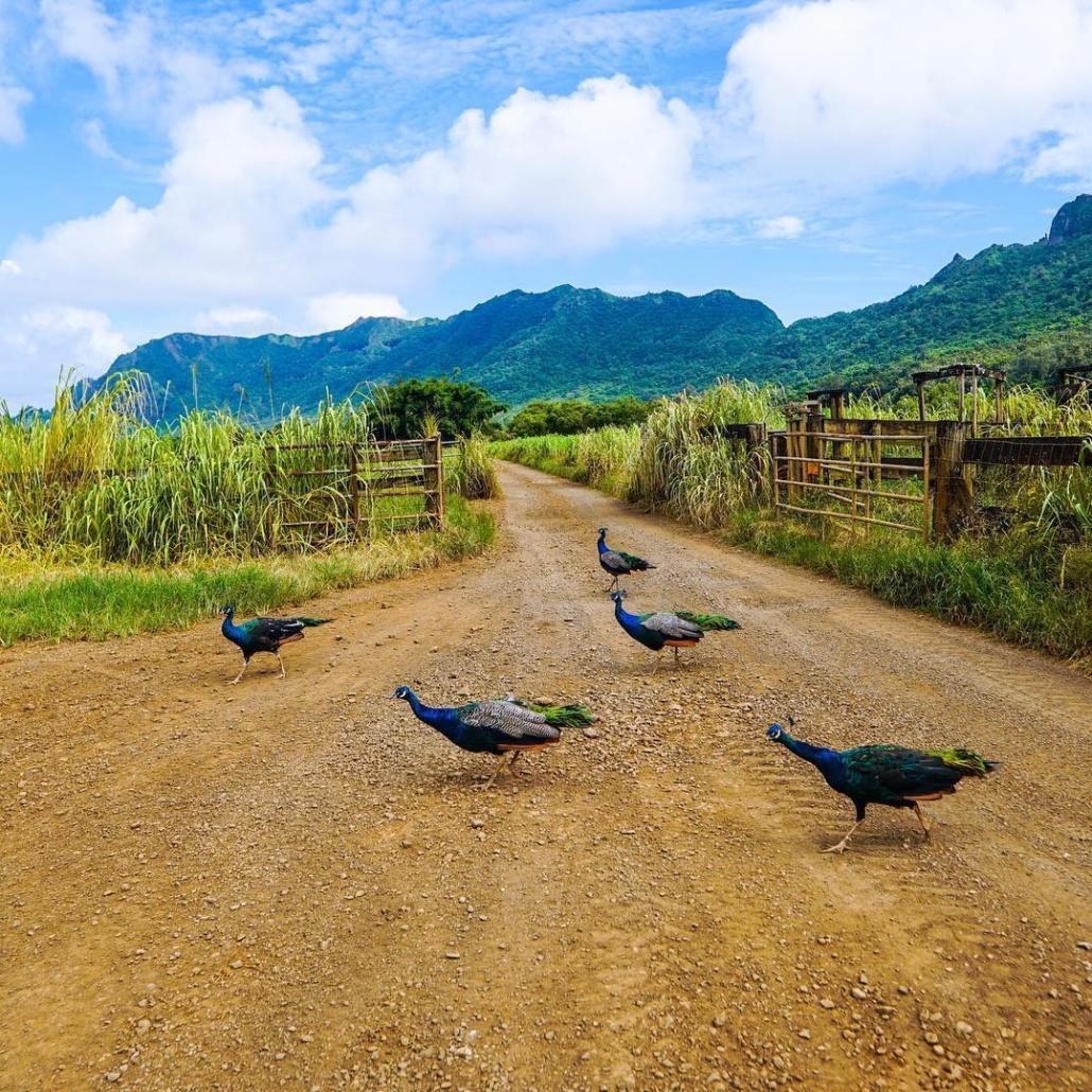 Peacock on The Road Kipu Tours Kauai