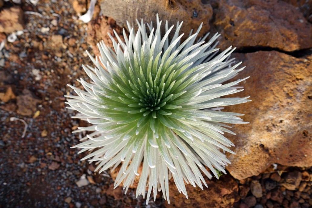Haleakala Hike Plant