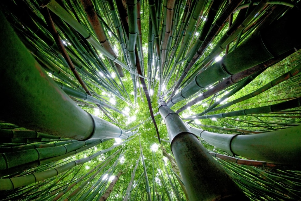 Bamboo Forest at Maui