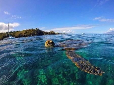 Sea Mauiturtle Snorkel West Maui