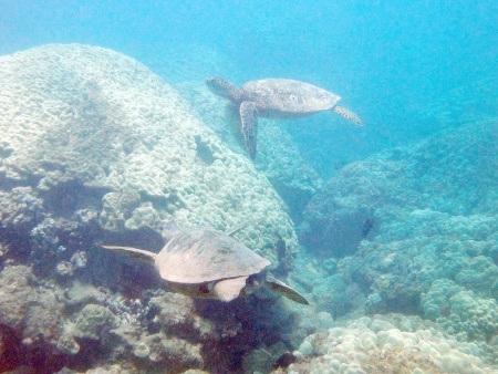 kayak and turtle reef snorkel at olowalu maui adventure tours